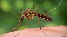 #Une pilule expérimentale contre le paludisme - La Voix de l'Amérique: La Voix de l'Amérique Une pilule expérimentale contre le paludisme…