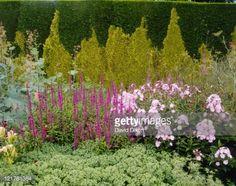 lythrum salicaria, phlox paniculata, sedum herbstfreude & tapestry hedge of thuja plicata & chamaecyparis lawsoniana - town place - freshfield july