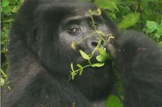 New DNA study says humans are even more similar to apes than scientists thought.