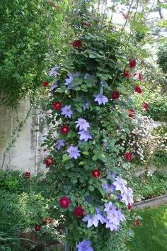red climbing rose with lavender clementis rote Kletterrose mit Lavendel-Clementis Red Climbing Roses, Climbing Vines, Outdoor Landscaping, Front Yard Landscaping, Landscaping Ideas, Back Gardens, Outdoor Gardens, Clematis Trellis, Flower Pot Design