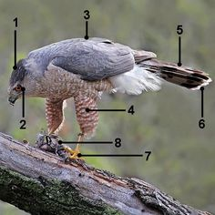Cooper's Hawk Identification