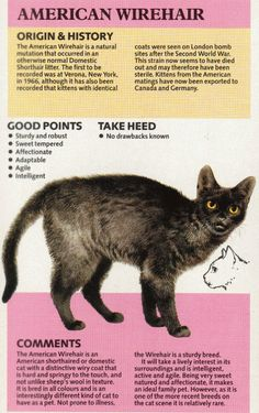 Fun Facts About Cats, Cat Facts, American Wirehair, Animal Room, Cute Little Animals, Cat Food, White Man, Cat Breeds, Natural