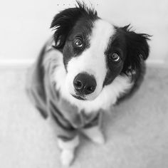 Have you heard of exercise-induced hyperthermia syndrome for border collies?…