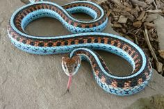 The San Francisco Garter Snake (Thamnophis sirtalis tetrataenia) is a slender multi-colored subspecies of the common garter snake. Designated as an endangered subspecies since the year 1967