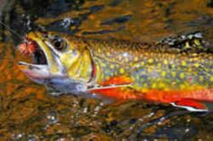 New Hampshire State Freshwater Fish - Brook Trout