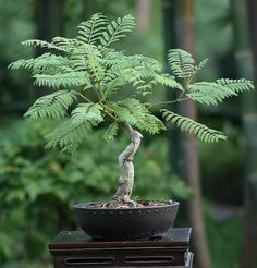 I would love to see the colors when it blooms. Bonsai Tree Types, Indoor Bonsai Tree, Bonsai Art, Bonsai Plants, Bonsai Garden, Garden Plants, Potted Trees, Flowering Trees, Trees To Plant