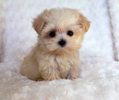 She is a Teacup Maltipoo, her name is Annabelle........so precious!!