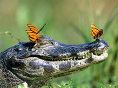 Butterflies resting on a gator-they are very brave