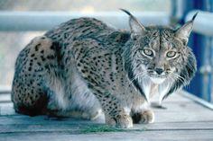Iberian Lynx   Iberian Lynx   Wild Life Animal