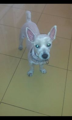 Westie without hair