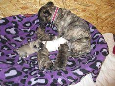 wunderschöne kleine welpen (Papa Chihuahua X Mama Französchische Bulldogge Mops suchen ein zu hause.Die kleinen sind jetzt 5 Tage alt und schlafen nur.Es sind 2 Mädchen 1 weiß das andere gesromt wie die Mama und 3Jungen sehen aus so in etwa wie die Mama .Wir ziehen die Welpen liebevoll auf und machen sie mit allen alltäglichen Geräuschen vertraut.Natürlich gehört auch ein Besuch beim Tierarzt dazu,dort erhalten sie ihre erste Impfung und den Chip.Entwurmt werden die kleinen bis zur Abgabe…