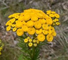 tansy repels ants and moths