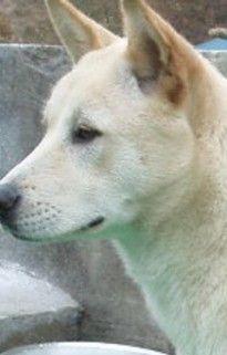 Pungsan Dog / Hangul / Hanja / Korean Jindo Dog