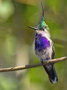 Hummingbirds in the Americas: Beija-flor-de-tuft-green