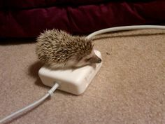 my friend amy's hedgehog named chester. he enjoys the warmth of her macbook charger.