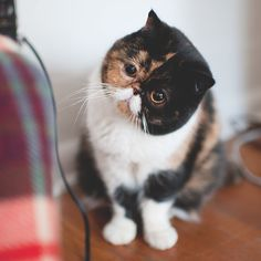 Hipster cat tortoise shell markings and cute white mustache. Pretty Cats, Beautiful Cats, Cute Kittens, Cats And Kittens, Gato Calico, Mustache Cat, Animals And Pets, Cute Animals, Himalaya