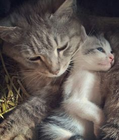 W Precious moment. Want more cute kittens? Click the photo for more! I Love Cats, Crazy Cats, Cute Cats, Baby Animals, Funny Animals, Cute Animals, Kittens And Puppies, Cats And Kittens, Bb Chat