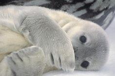 Antartica Weddell Seal by ButterflyJ Baby Harp Seal, Baby Seal, Arctic Animals, Cute Animals, Animal Fun, Cute Seals, Seal Pup, Mundo Animal, Sea Creatures