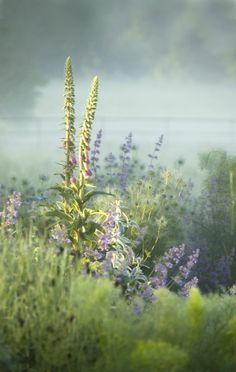 Foxgloves, Nigella, Stachys and Nepeta in the mist : Blue Garden at Narborough Hall