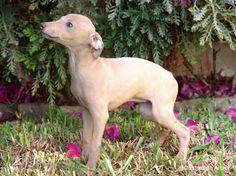 Fawn Italian Greyhound living in czech republic