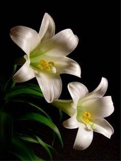 Lilium longiflorum   (li' lee-um lon-gi-floor' um)    Common name: Easter Lily    Family: Liliaceae, Lily
