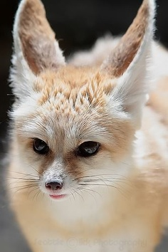 Fennec Fox – Native to North Africa and the Sahara Desert, known for their large ears and beautiful blond fur.