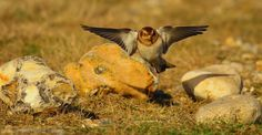 Snow Buntings at Salthouse by Brian Anderson http://focusingonwildlife.com/news/snow-buntings-at-salthouse/