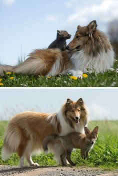 DiNozzo the Fox had a rough start in life.  At just ten days old, he was found in Schelder Forest, Germany, next to the body of his mother, who had been killed by a car. Then he got rescued and made friends with this dog called Ziva, and they've been besties ever since.