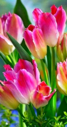 Tulip Tender Whisper