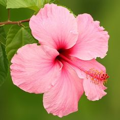 Hibiscus flower from Hawaii