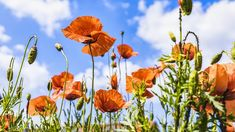 Free Image on Pixabay - Poppies, Meadow, Summer, Nature Spring Landscape, Landscape Photos, Landscape Photography, Free Photos, Free Images, Have A Happy Day, Light Images, Living Off The Land, Gardens
