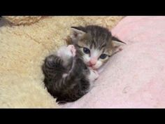 Cutest Self Grooming Kitten - We Love Cats and Kittens