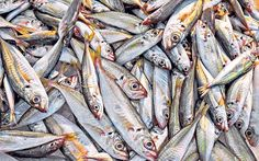 How fish became the break-out stars of the General Election campaign - Telegraph
