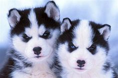 Cão siberiano  - Siberian puppies, six weeks of age are photographed. (© Reuters)