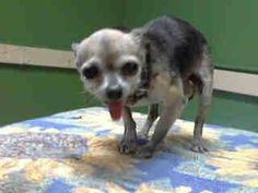#A4748645 I'm an approximately 10 year old male chihuahua sh. I am not yet neutered. I have been at the Carson Animal Care Center since August 23, 2014. I will be available on August 27, 2014. You can visit me at my temporary home at CFOSTER. https://www.facebook.com/171850219654287/photos/pb.171850219654287.-2207520000.1409173269./299733133532661/?type=3&theater