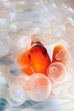 Clownfish iPhone Wallpaper