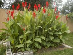 garden tips pest control # Tall Plants, Potted Plants, Canna Bulbs, Canna Lily, Get Taller, Square Foot Gardening, Enchanted Garden, Growing Plants, Pest Control