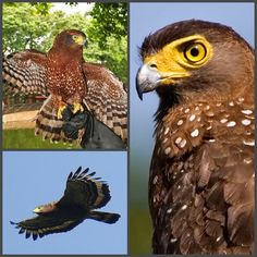 Philippine Serpent Eagle (LC) Raptors, Eagle, Owl, Bird, Animals, Animales, Animaux, Owls, Birds