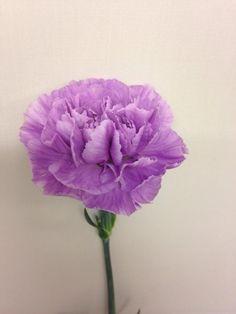 Norsk navn: Nellik  Botanisk navn: Dianthus 'Moon Aqua'