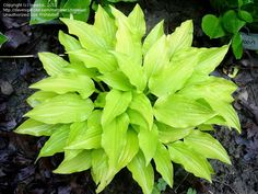 Full size picture of Hosta 'Yellow Boa'