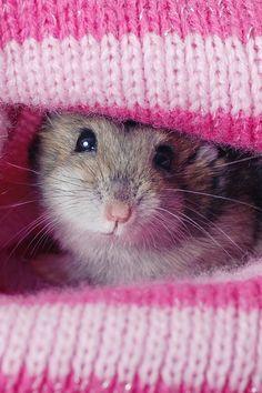 Cute as a button little hamster