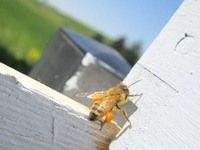Seven easy ways to help the honeybees, from the Honeybee Conservancy at the Rodale Institute