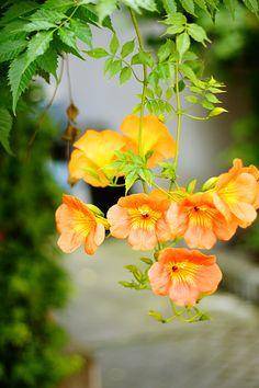Campsis grandiflora (Photo by MIHO) Romantic Flowers, Wild Flowers, Beautiful Flowers, Orange Flowers, Tropical Flowers, Campsis, Peonies Bouquet, Landscaping Plants, Plant Design