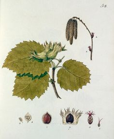 Hand coloured plate from Johann S Kerner's eighteenth century book 'Beschreibung und Abbildung der Bäume und Gestrauche'. This illustration is one of 71 plates and depicts the leaves, flowers, nuts and sapling growth of the Hazel tree. Creator: Kerner, Johann Simon (1755-1830). Date: 1783