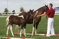 Lewitzer mare and foal