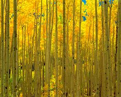Aspens, White River National Forest, CO via MuralsYourWay.com