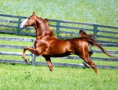 Saddlebreds. My first horse was a saddlebred mare. I will never love something as much as I loved her. They are AMAZING horses.