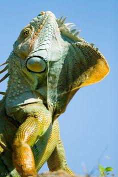 Colorful Iguana