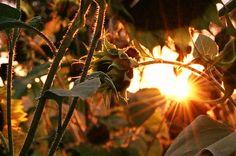 evening sun through the sunflowers