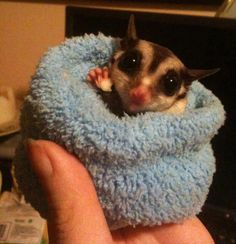 Sugar Glider -loves to curl up in tiny places